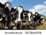Herd Of Inquisitive Black And...