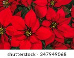 Red Poinsettia Flower ...