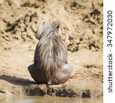 Small photo of Common warthog in Kruger national park, South Africa ; Specie Phacochoerus africanus family of Suidae