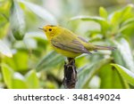 wilson's warbler perched on a... | Shutterstock . vector #348149024