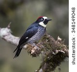 Small photo of Acorn Woodpecker perched on a branch