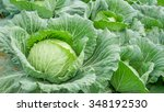Close Up Of Fresh Cabbage In...