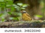 eared pitta   bird in thailand | Shutterstock . vector #348220340