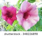 flower purple allamanda   Shutterstock . vector #348226898