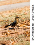 Common Female Grackle On The...