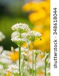 white allium flowers against...