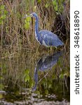 tricolored heron  egretta... | Shutterstock . vector #348618890