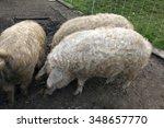 wollschwein  mangalica  hungary ... | Shutterstock . vector #348657770