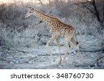 Baby Girafe In Etosha Natural...