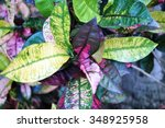 Small photo of Colorful leaves of the croton plant or St Joseph's Coat (Codiaeum Variegatum)