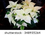 Poinsettia Enduring White