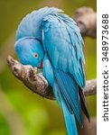 Vibrant Blue Ring Neck Parrot