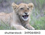 a young lion cub showing off... | Shutterstock . vector #349064843
