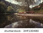Hereford Cattle On The Banks O...