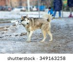 siberian husky with blue eyes.... | Shutterstock . vector #349163258