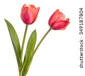Two Tulip Flowers Isolated On ...