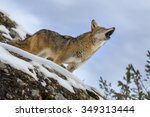 a coyote searches for a meal in ... | Shutterstock . vector #349313444