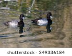 Two Male Scaup Ducks Swimming...