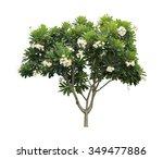 plumeria tree  frangipani ...   Shutterstock . vector #349477886