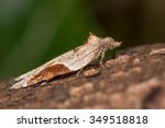 Small photo of Acleris laterana (micro moth in the family Tortricidae)
