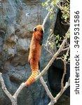 Red Panda Climbing On Tree At...