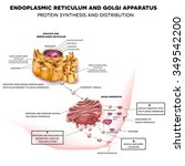anatomy of the cell nucleus ... | Shutterstock .eps vector #349542200