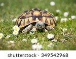 Turtle Testudo Hermanni...