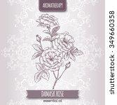 Rosa Damascena Aka Damask Rose...