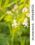 Small photo of Silene Vulgaris (Salisb.) Sm. ( Bladder Campion)