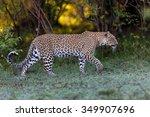 Walking Leopard Female In Masai ...