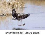 Bald Eagle Landing On A Log.