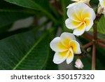 White Frangipani Plumeria...