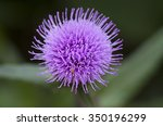 Macro Thistle Flower