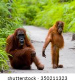 The Female Of The Orangutan...
