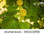 Flower Liriodendron Tulipifera...