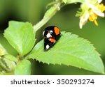 Mating Ladybird