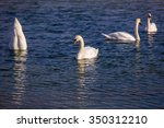 Four Mute Swans On A Row On A...