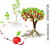 life cycle of apple tree | Shutterstock .eps vector #350343728