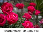 Stock photo rose garden 350382443