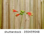 Small photo of Parrot Lily (Alstroemeria psittacina), a Brazilian plant with trumpet-shaped flowers