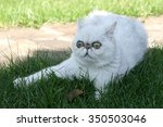 Stock photo the white cat lies in a grass 350503046