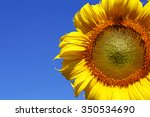Yellow Sunflower With Blue Sky...