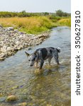 Blue Heeler Pup On A Rivers...