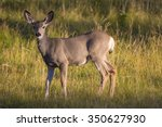 White Tailed Deer At Sunset