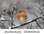 Robin Redbreast Bird On Branch...