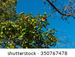 holly bush bearing fruit with a ... | Shutterstock . vector #350767478