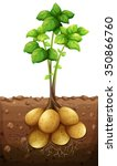 potatoes plant under the ground ... | Shutterstock .eps vector #350866760