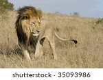 Adult Male Lion In The South...