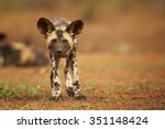 Portrait Of African Wild Dog...