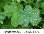 Small photo of Closeup photo of water beads, drops of rain water on dwarf Lady's mantles leaves (Alchemilla erythropoda)